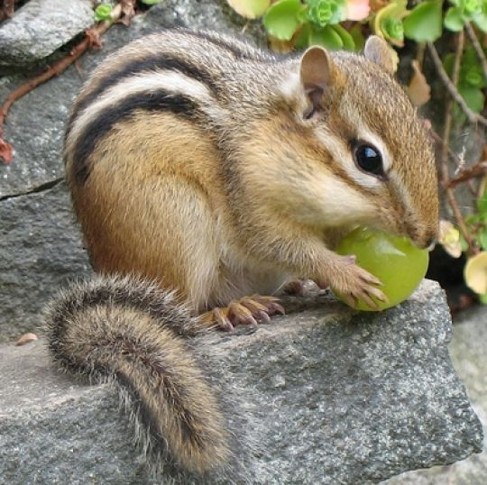 Awake! March 11, 3 PM first Chipmunk sighting at Spring Tree Press on Clay Pit Creek